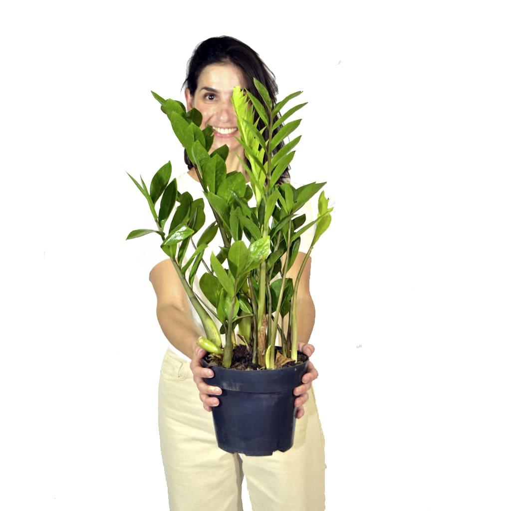 Plantas Faitful Plantas Interior Zamioculca M20 2 - Plantas Faitful