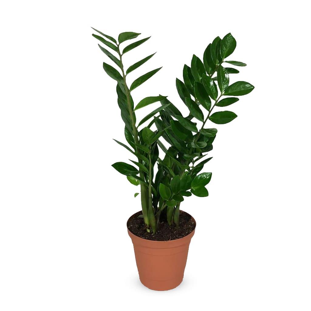 Plantas Faitful Plantas Interior Zamioculca M20 ZZ - Plantas Faitful