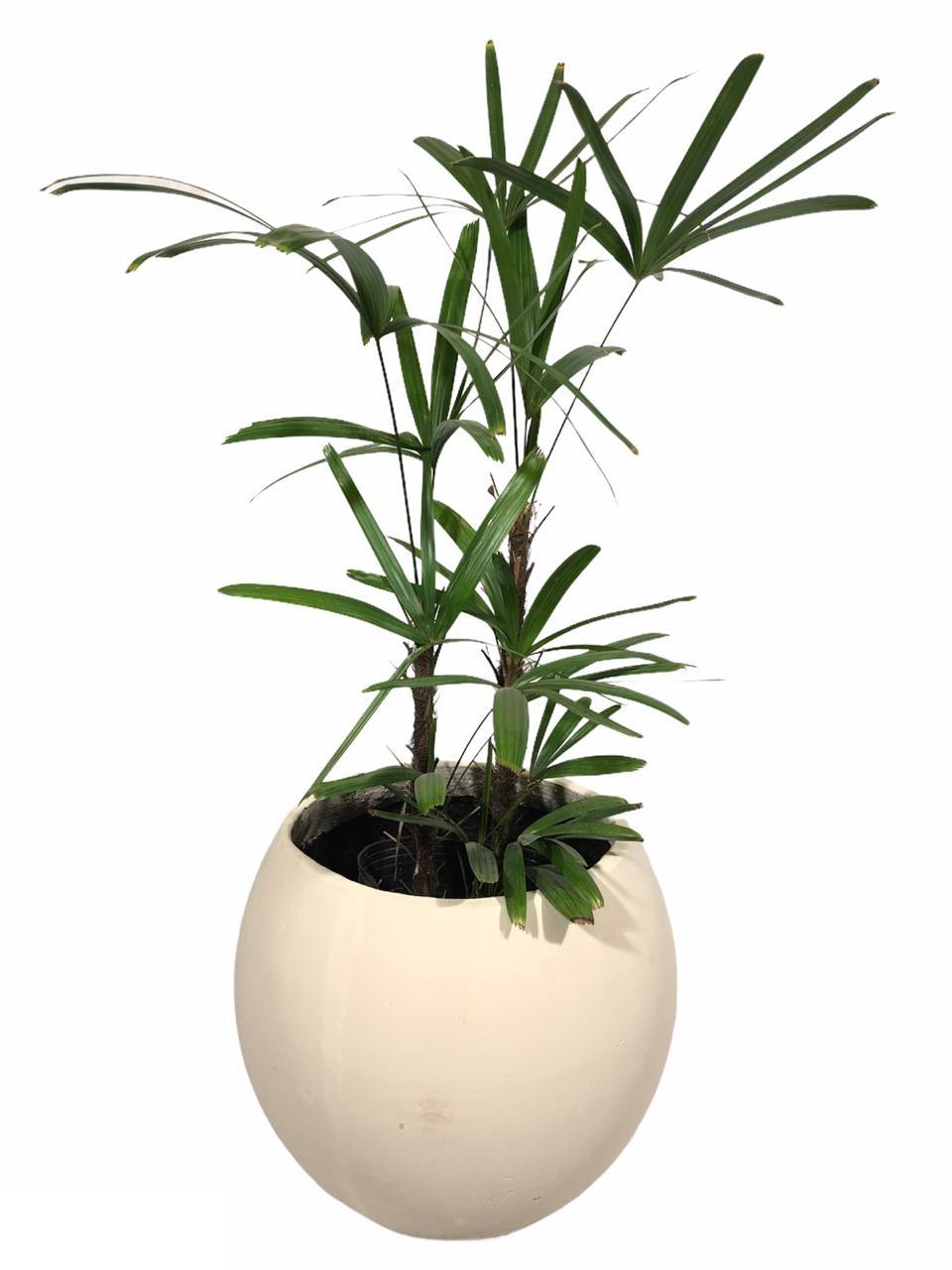 esferaraphis - Plantas Faitful