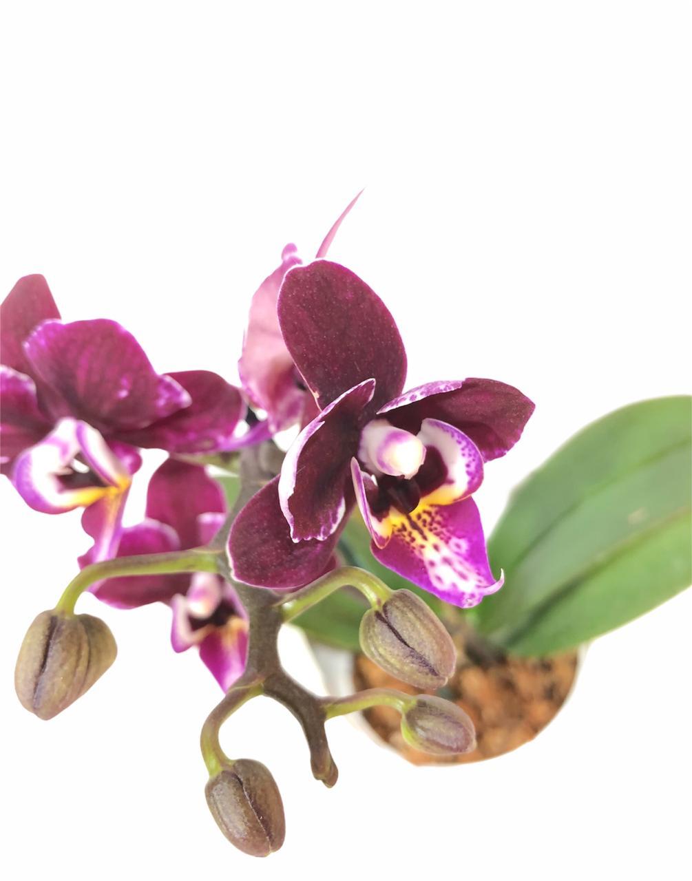 orquideamini2 - Plantas Faitful