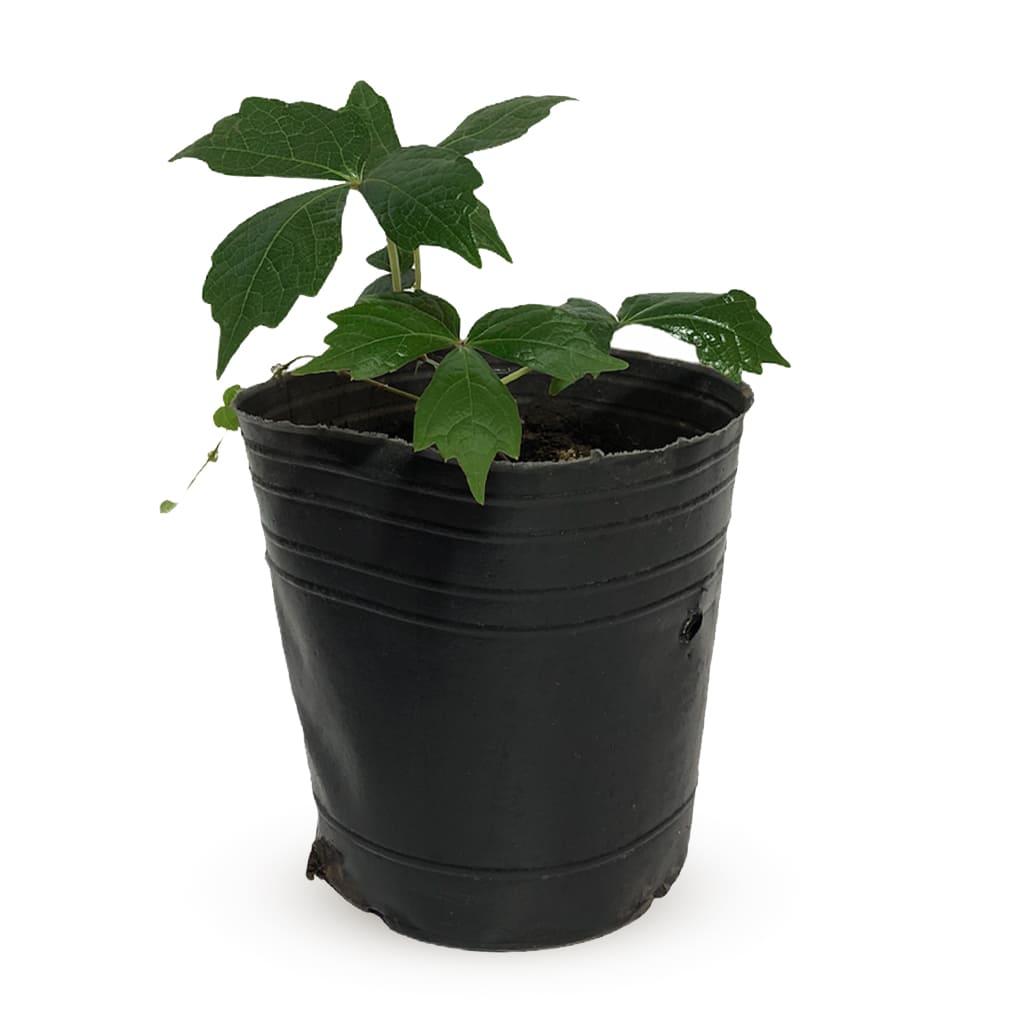 Plantas Faitful Plantas Exterior Ampelopsis M12 - Plantas Faitful