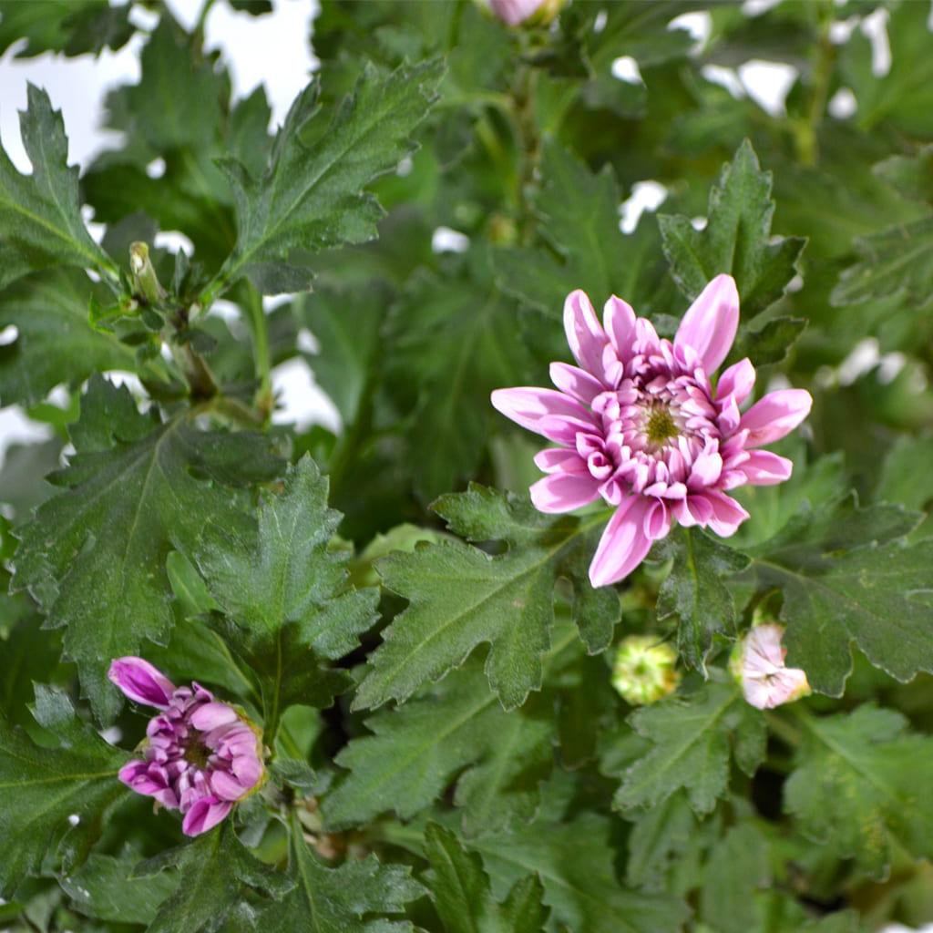Plantas Faitful Plantas Exterior Crisantemo M14 1 - Plantas Faitful