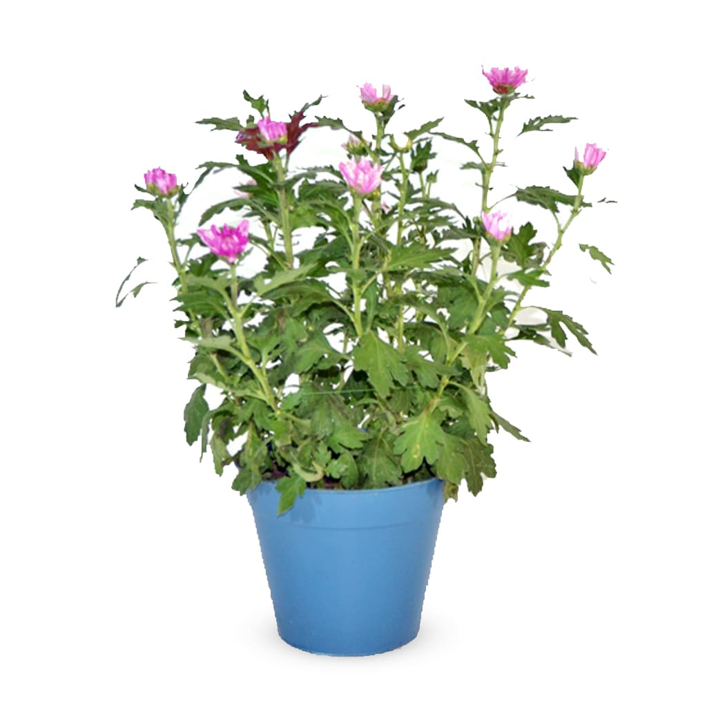 Plantas Faitful Plantas Exterior Crisantemo M16 1 - Plantas Faitful
