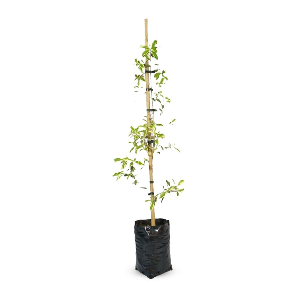 Plantas Faitful Plantas Exterior Eugenia Variegada E4 1 1 - Plantas Faitful