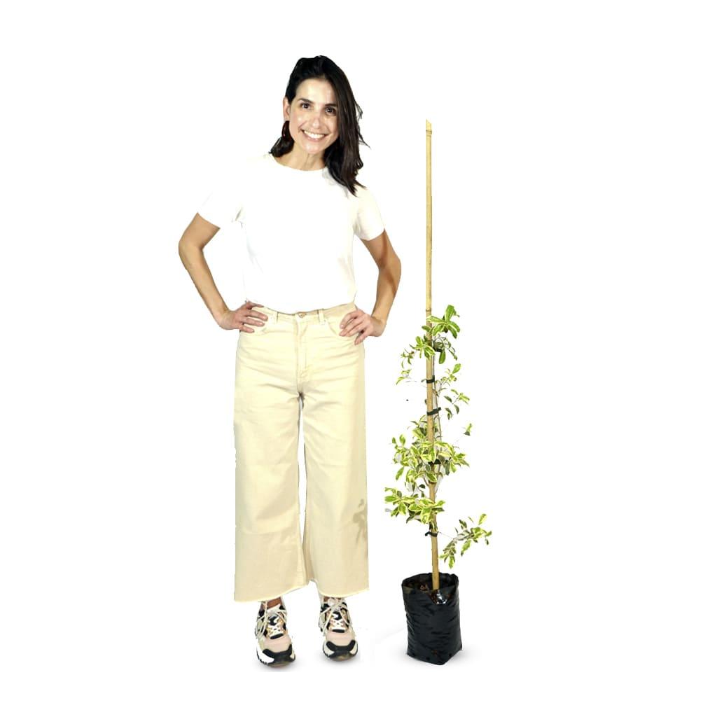Plantas Faitful Plantas Exterior Eugenia Variegada E4 2 - Plantas Faitful