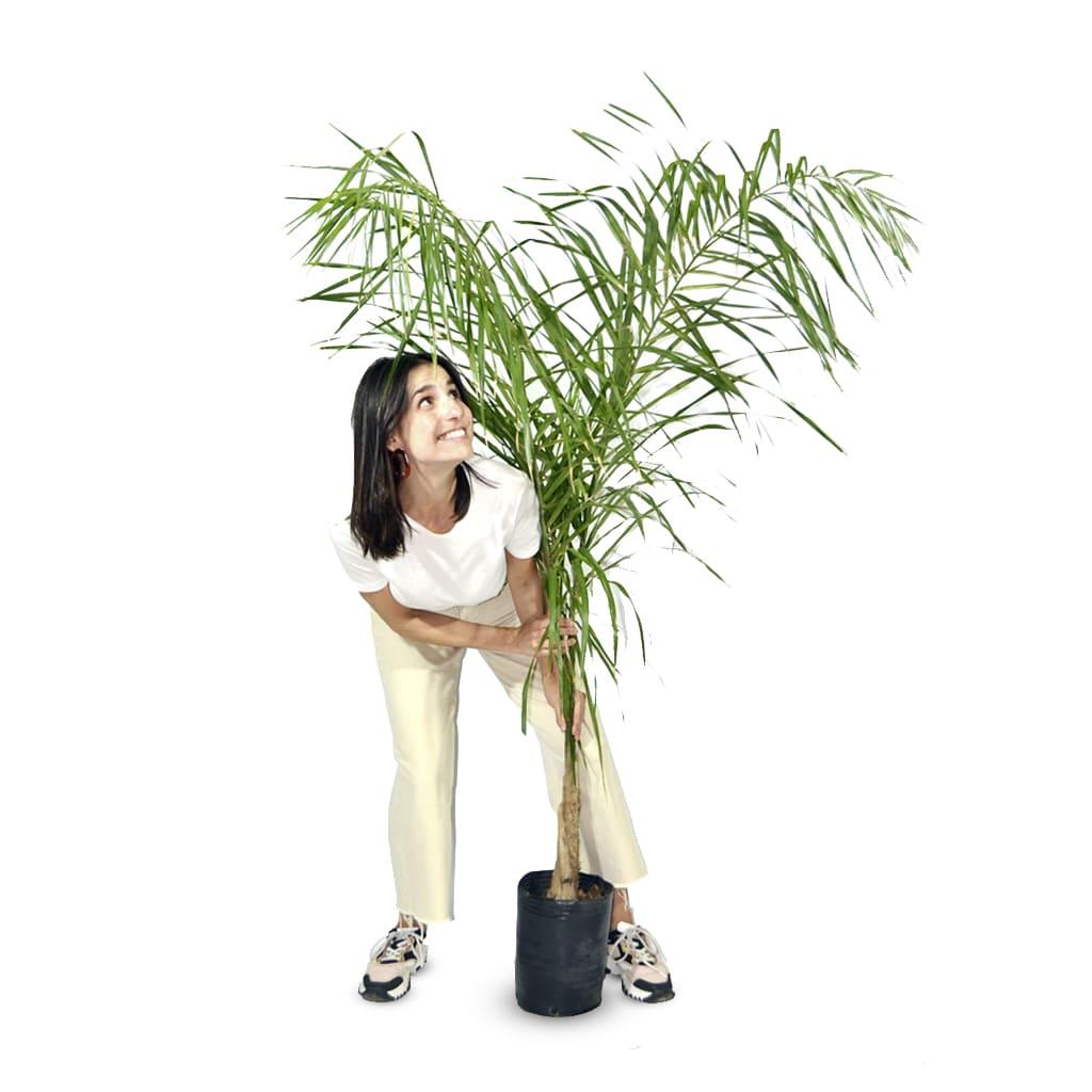 Plantas Faitful Plantas Exterior Palmera Pindo E7 Dimension - Plantas Faitful
