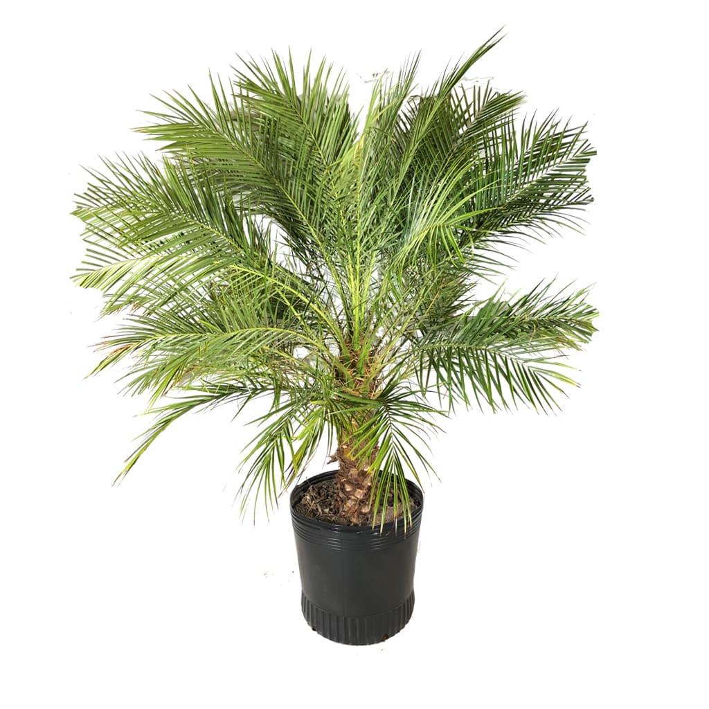 Plantas Faitful Plantas Exterior Phoenix Roebellini E50 - Plantas Faitful