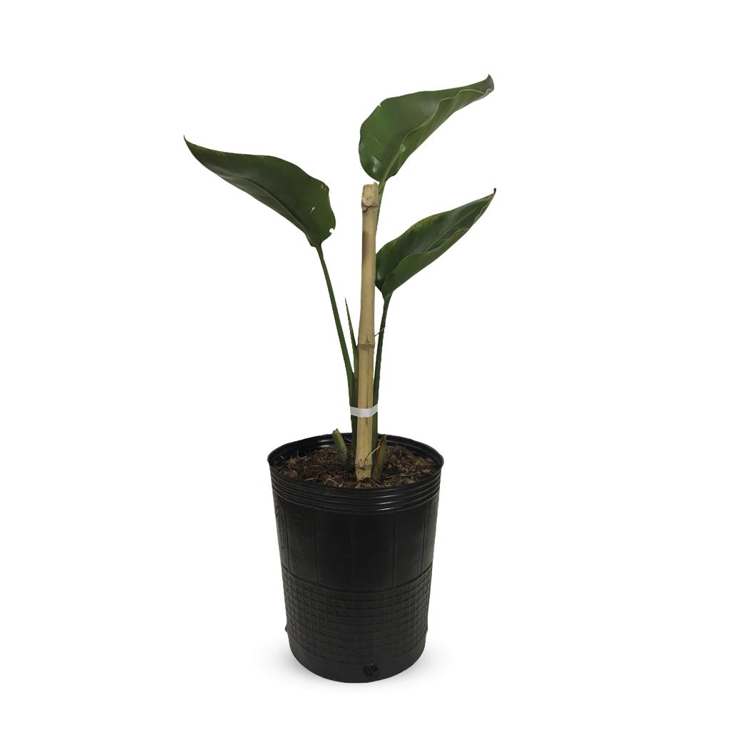 Plantas Faitful Plantas Exterior Sterlitzia Nicolai E10 - Plantas Faitful