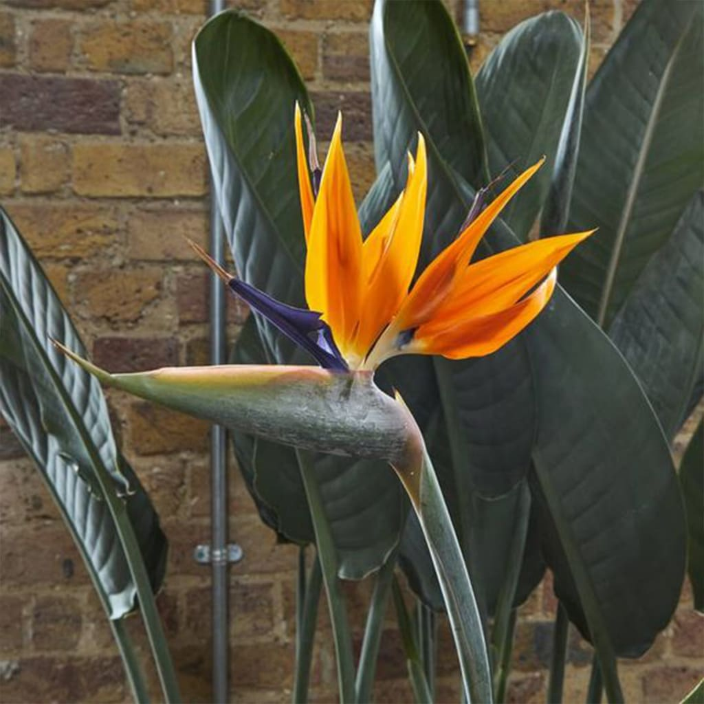 Plantas Faitful Plantas Exterior Strelitzia reginae - Plantas Faitful