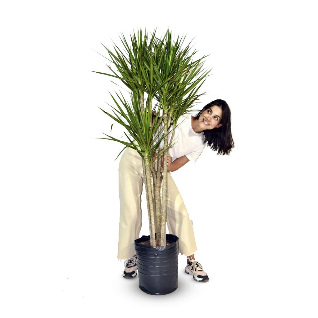 Plantas Faitful Plantas Interior Dracaena Marginata E30 Dimension - Plantas Faitful