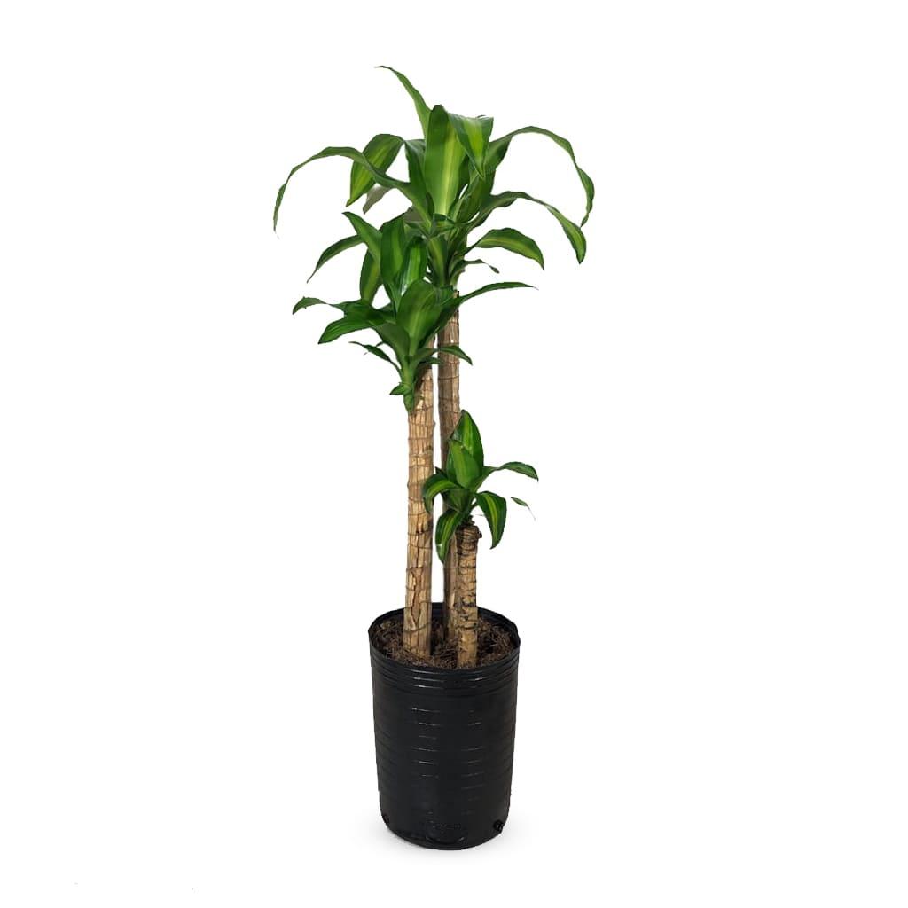 Plantas Faitful Plantas Interior Dracaena Massangeana E7 1 - Plantas Faitful