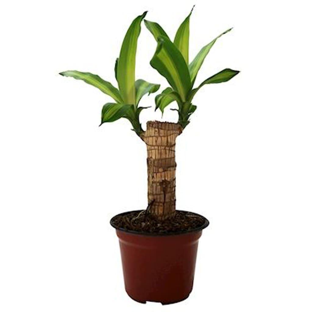 Plantas Faitful Plantas Interior Dracaena Massangeana M12 - Plantas Faitful