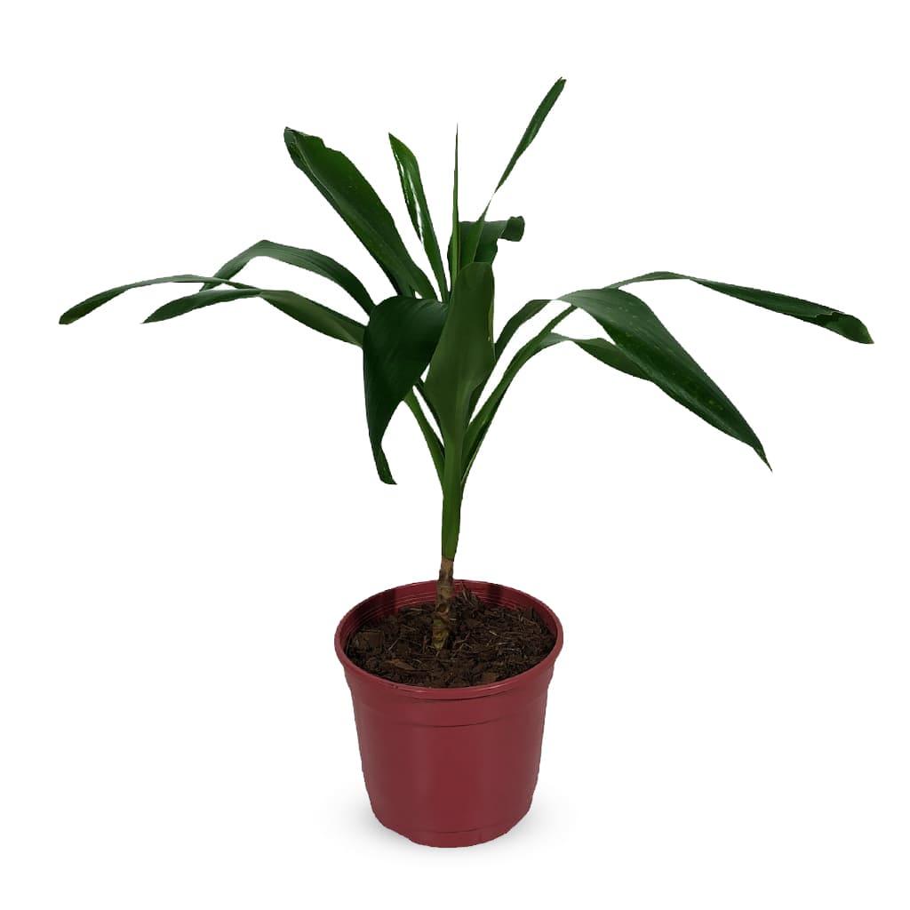 Plantas Faitful Plantas Interior Dracaena Robusta M15 - Plantas Faitful