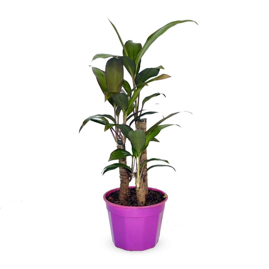 Plantas Faitful Plantas Interior Dracaena Rubra M15 1 - Plantas Faitful