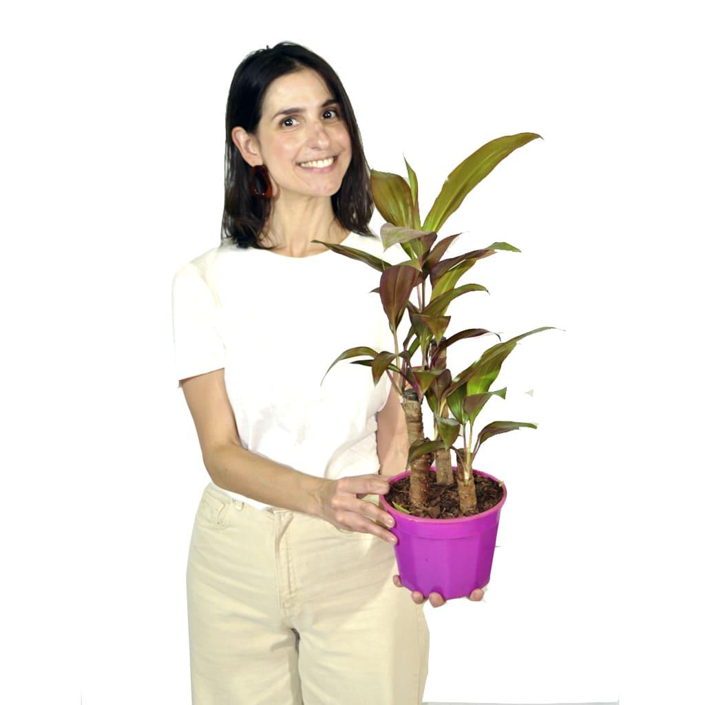 Plantas Faitful Plantas Interior Dracaena Rubra M15 - Plantas Faitful