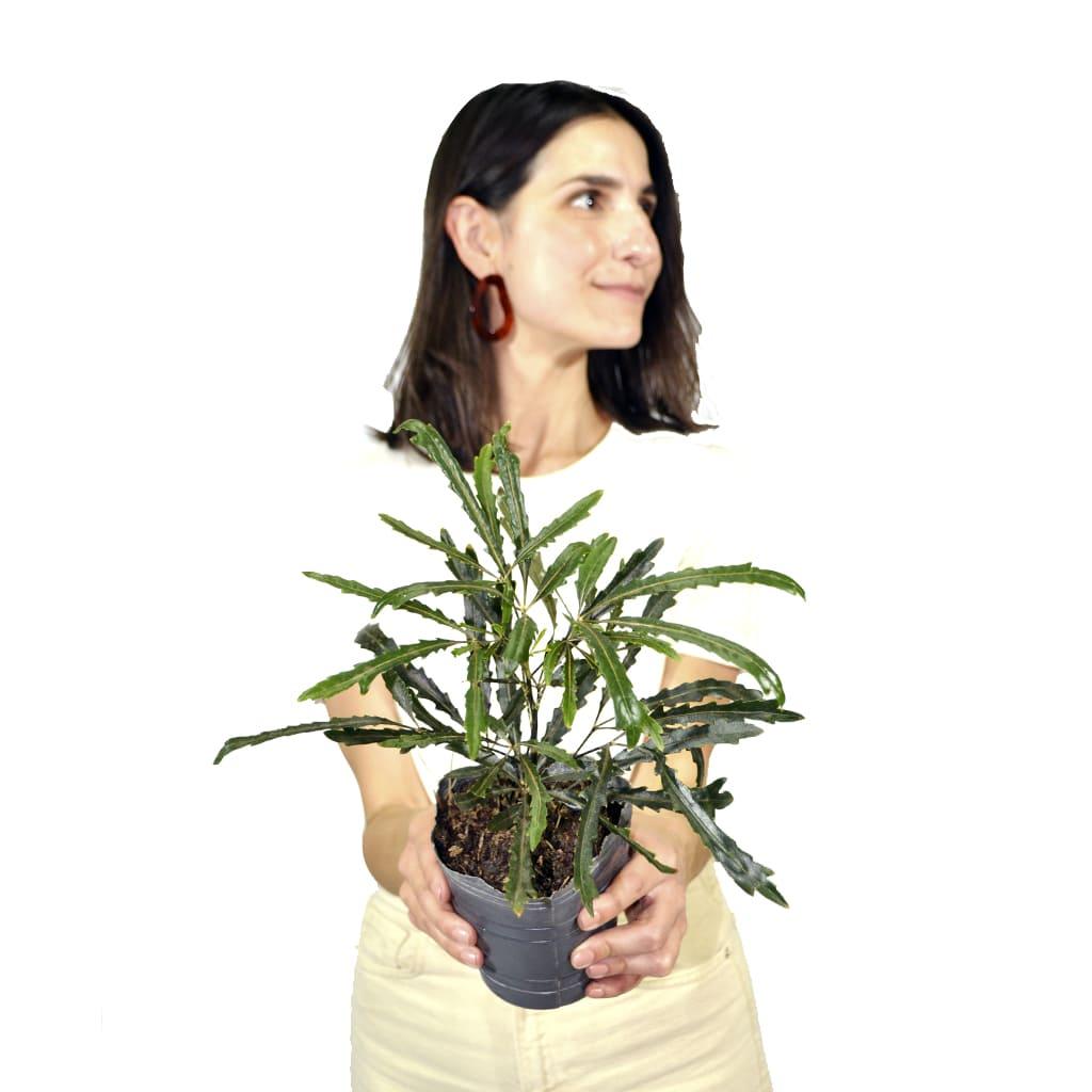 Plantas Faitful Plantas Interior Dyzifotheca M12 - Plantas Faitful
