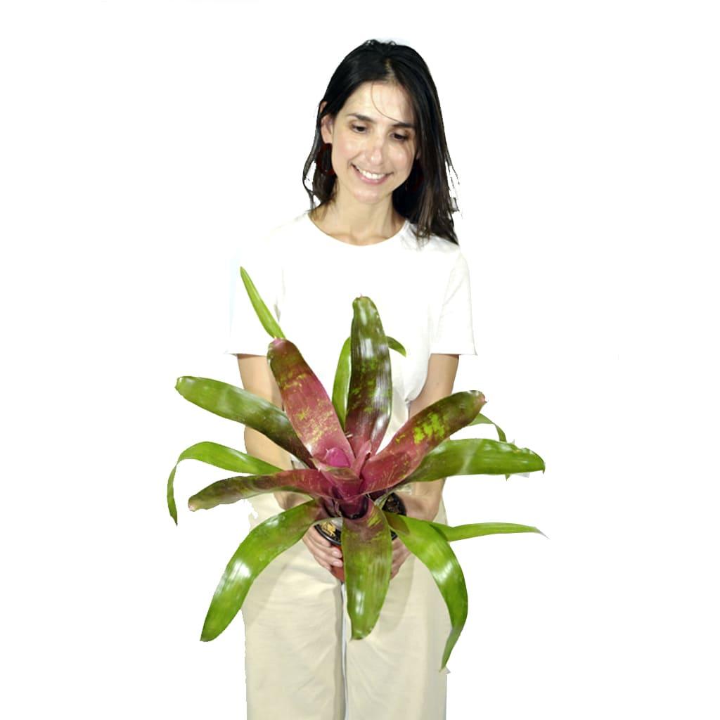 Plantas Faitful Plantas Interior Nidularium M12 - Plantas Faitful