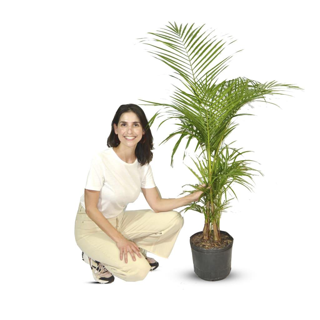 Plantas Faitful Plantas Interior Palmito E10 - Plantas Faitful