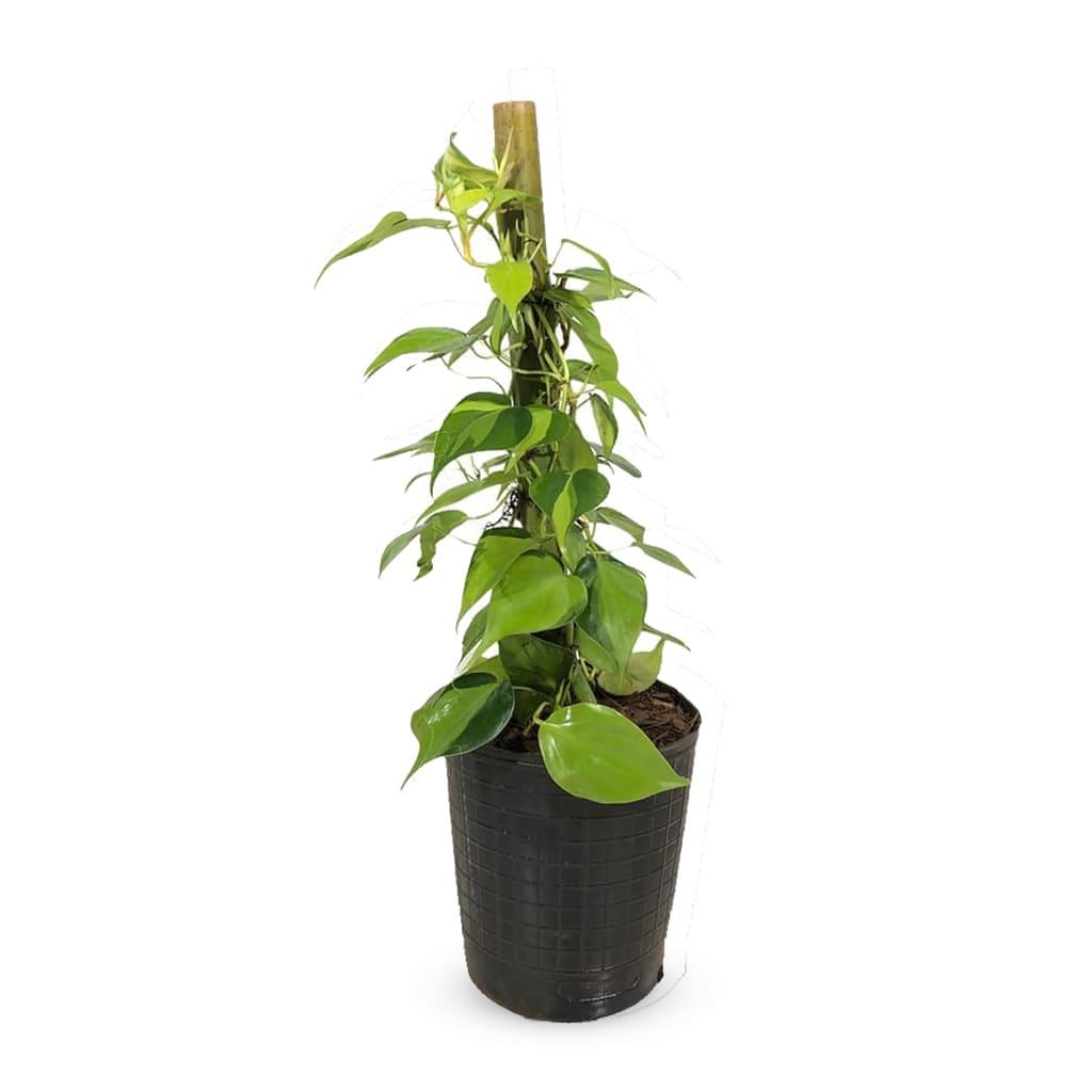 Plantas Faitful Plantas Interior Potus Bicolor E3 tutor - Plantas Faitful