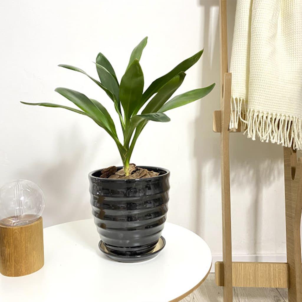 Plantas Faitful Plantas Interior Robusta M14 - Plantas Faitful