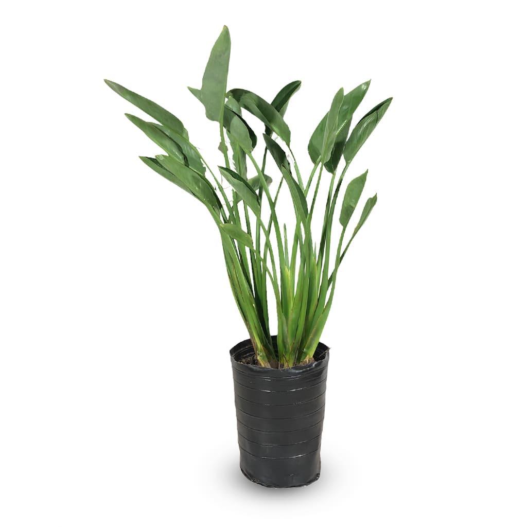 Plantas Faitful Plantas Interior Sterlitzia Reginae E7 - Plantas Faitful