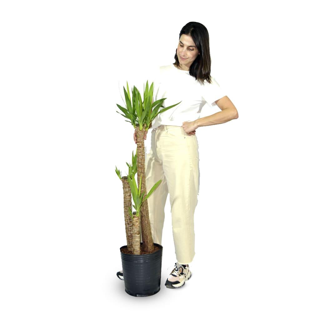 Plantas Faitful Plantas Interior Yucca E15 Dimension - Plantas Faitful
