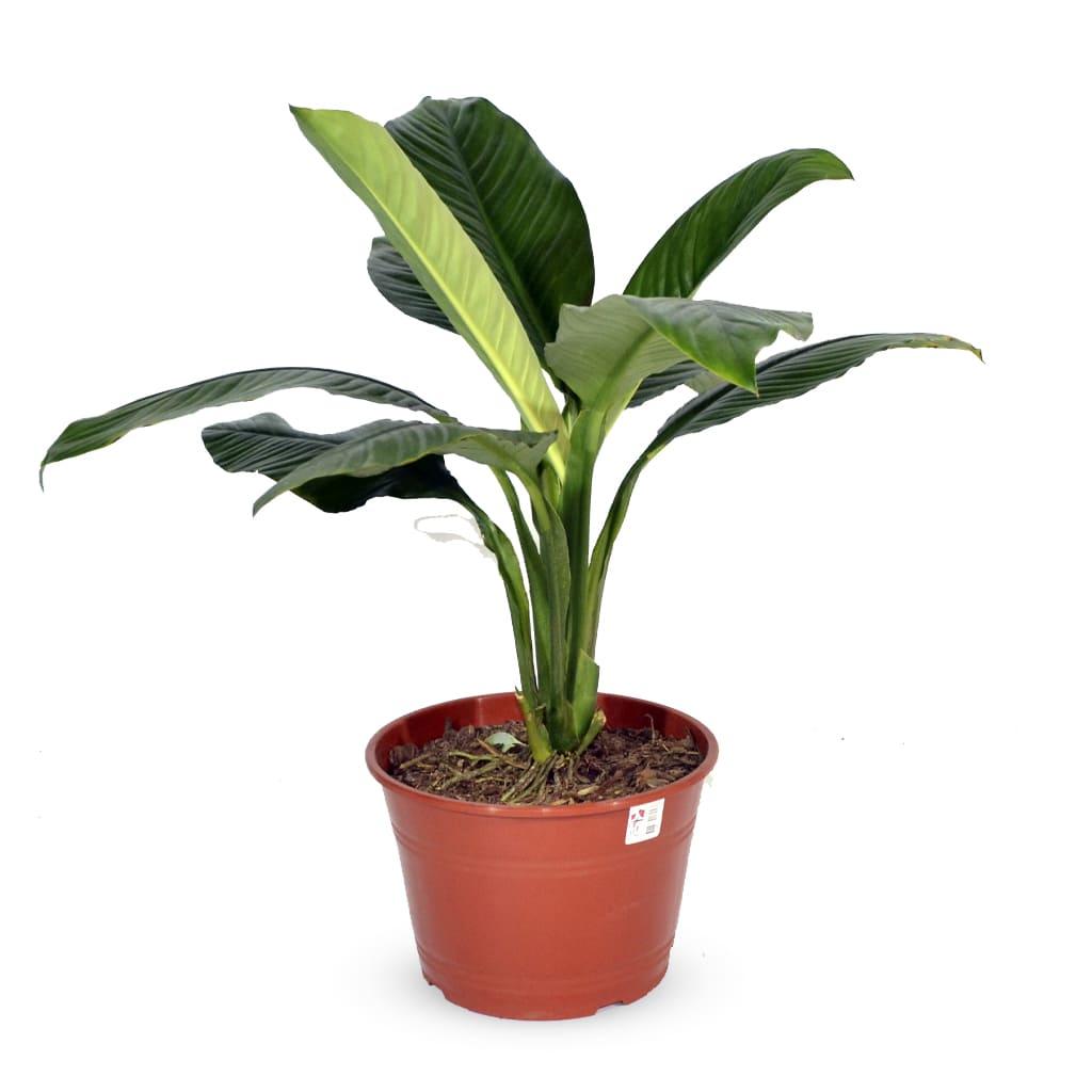 Plantas Faitful Plantas Interior spathiphyllum M25 1 - Plantas Faitful