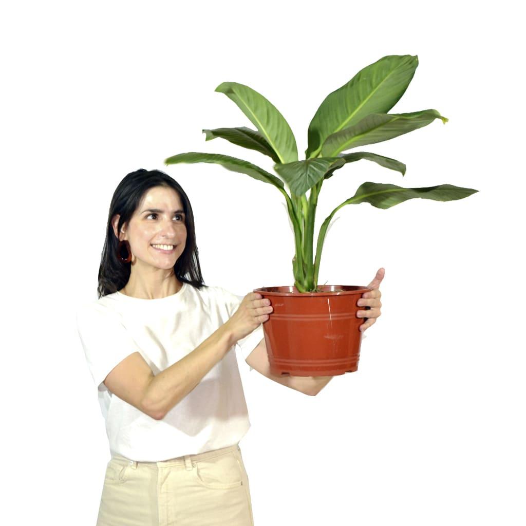 Plantas Faitful Plantas Interior spathiphyllum M25 - Plantas Faitful