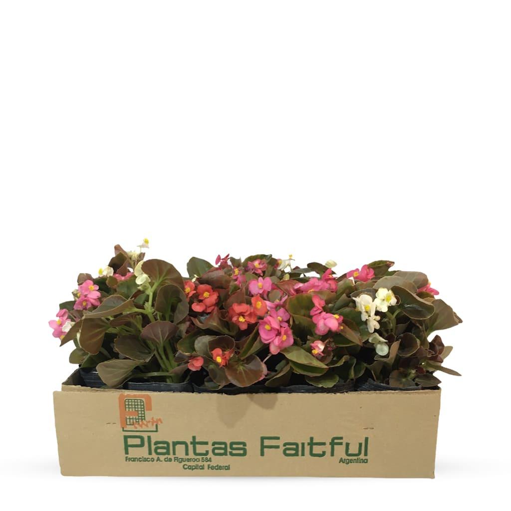 Plantas Faitful Plantas Exterior Begonia Flor De Azucar M12 - Plantas Faitful