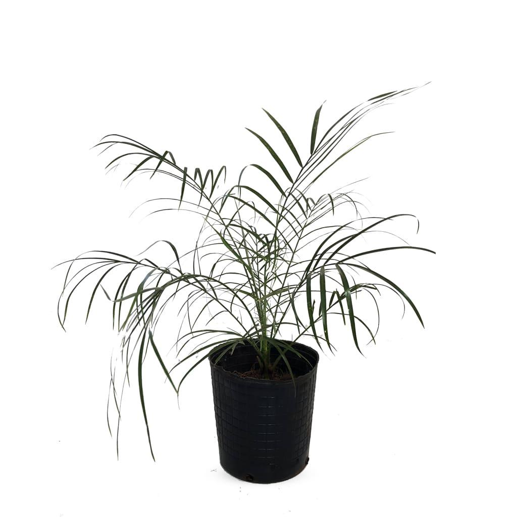 Plantas Faitful Plantas Exterior Phoenix Roebellini E5 - Plantas Faitful
