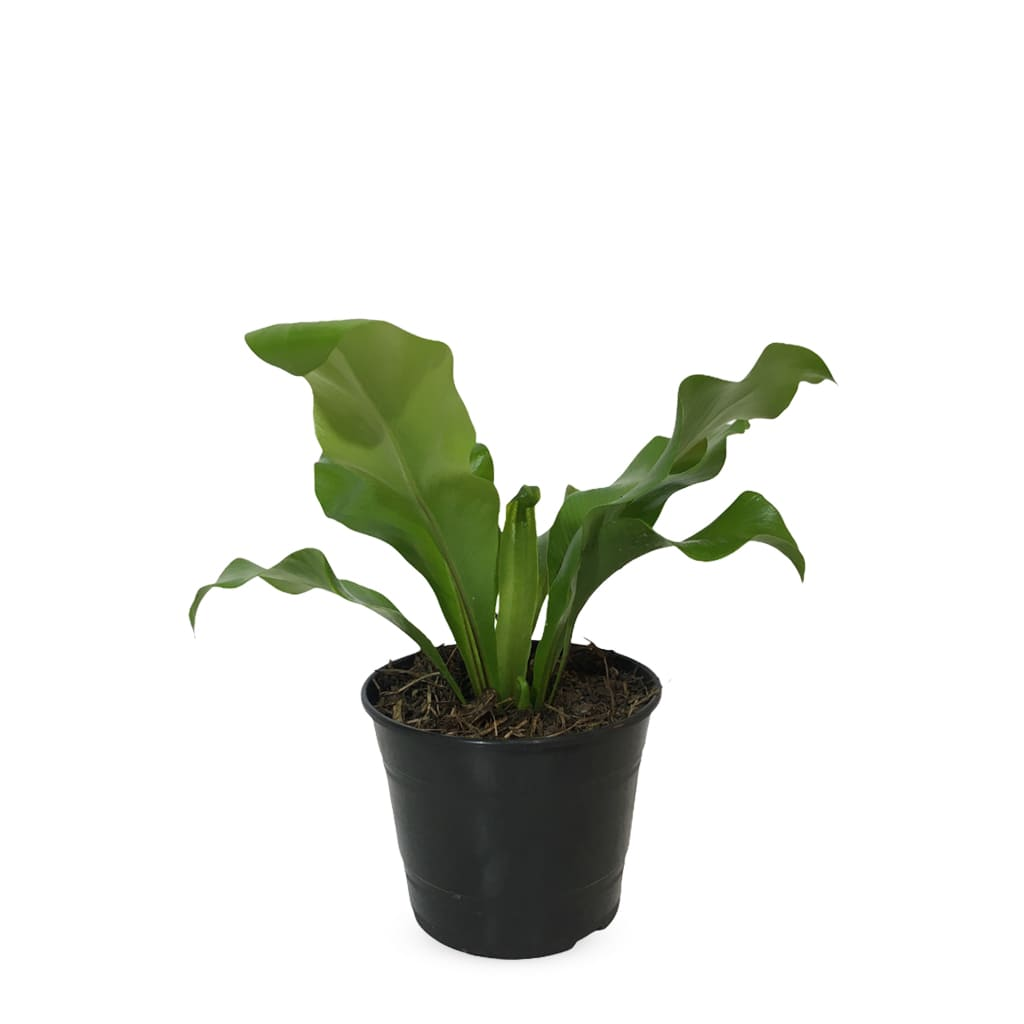 Plantas Faitful Plantas Interior Asplenium Nidus M12 - Plantas Faitful
