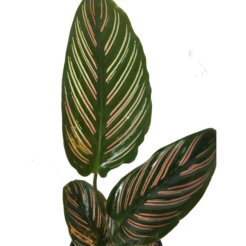 Plantas Faitful Plantas Interior Calathea Mil Rayitas M12 2 - Plantas Faitful