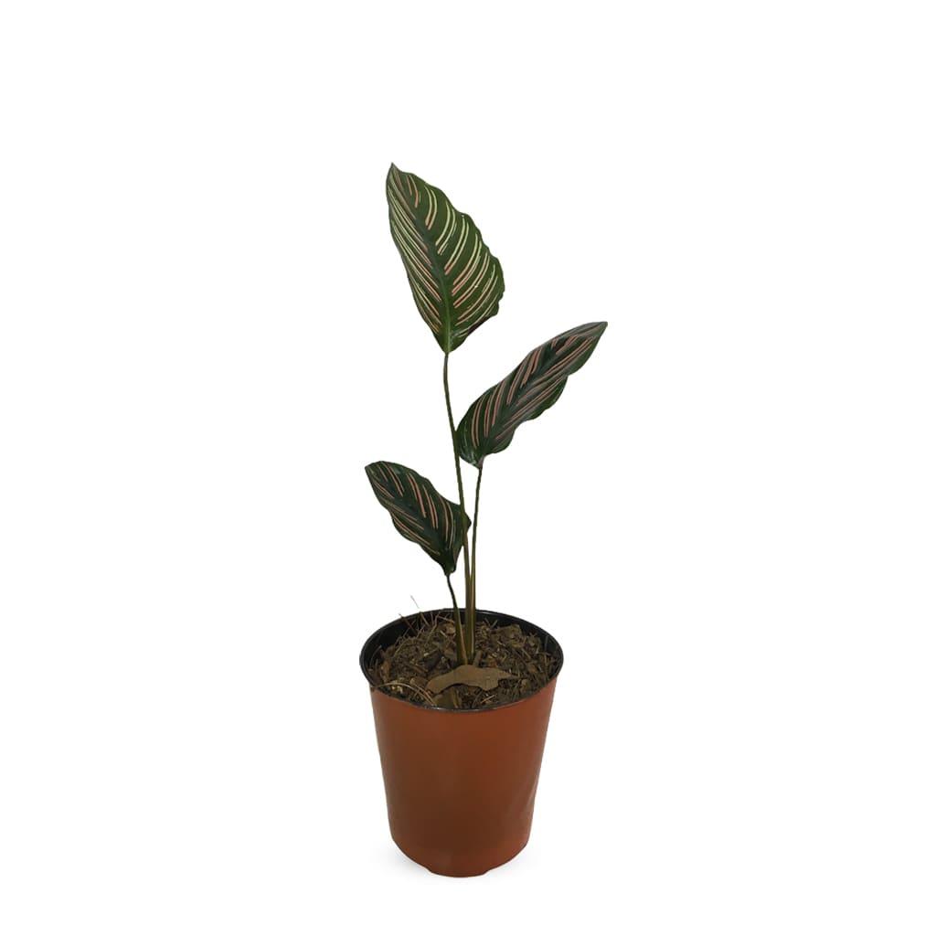 Plantas Faitful Plantas Interior Calathea Mil Rayitas M12 - Plantas Faitful
