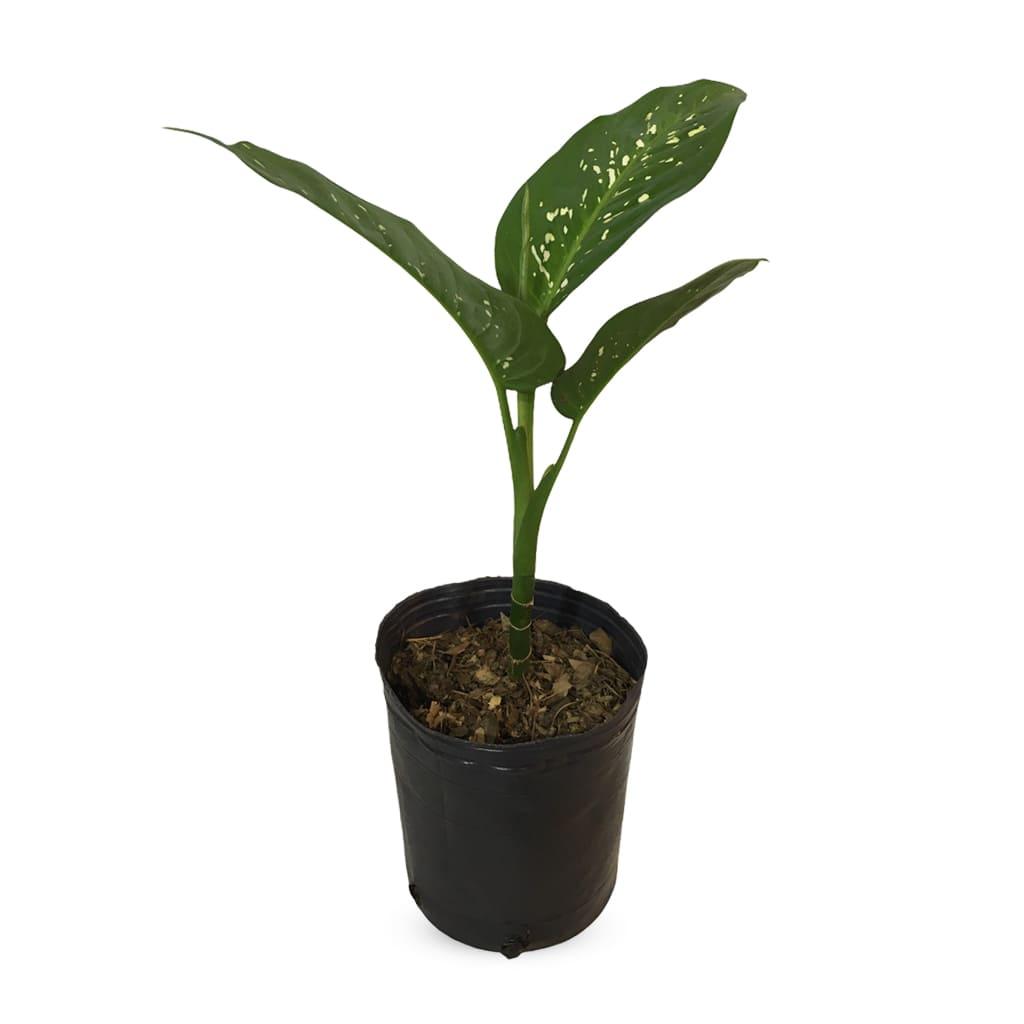 Plantas Faitful Plantas Interior Dieffenbachia E3 - Plantas Faitful