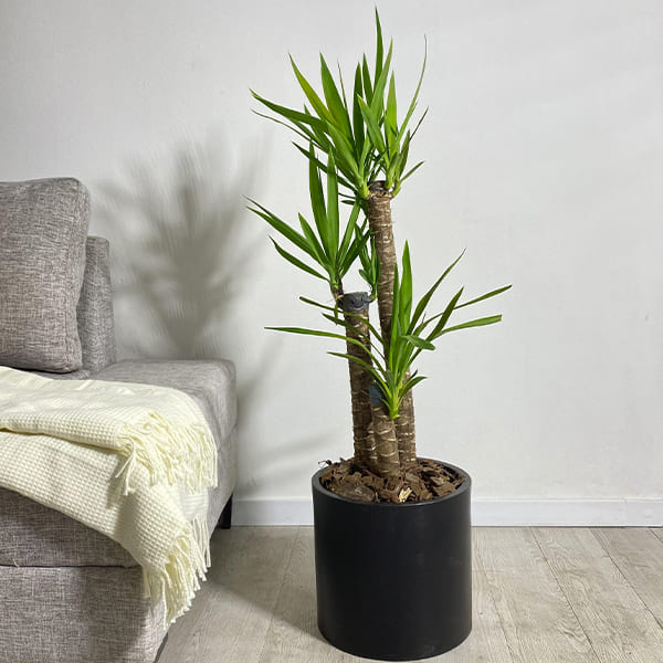 Plantas Faitful Plantas Interior Yucca E10 1 - Plantas Faitful