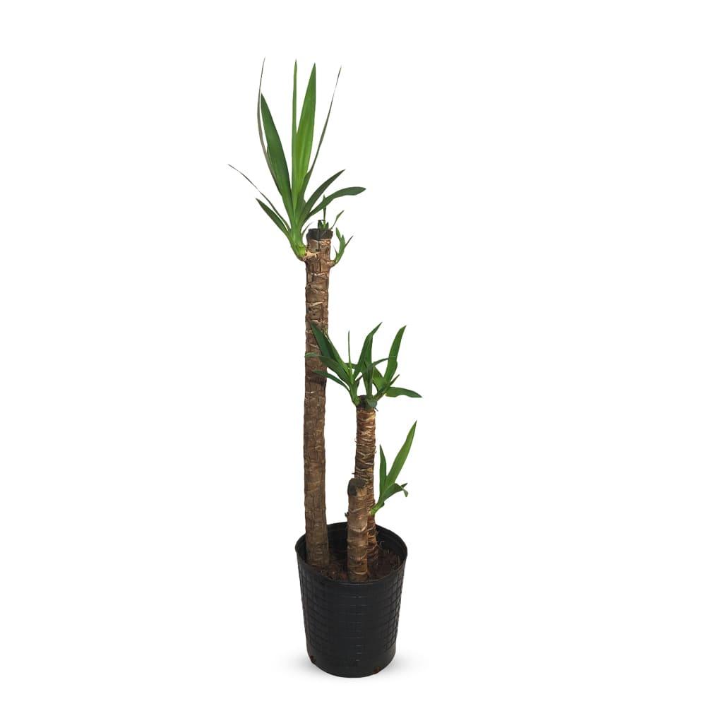 Plantas Faitful Plantas Interior Yucca E7 - Plantas Faitful
