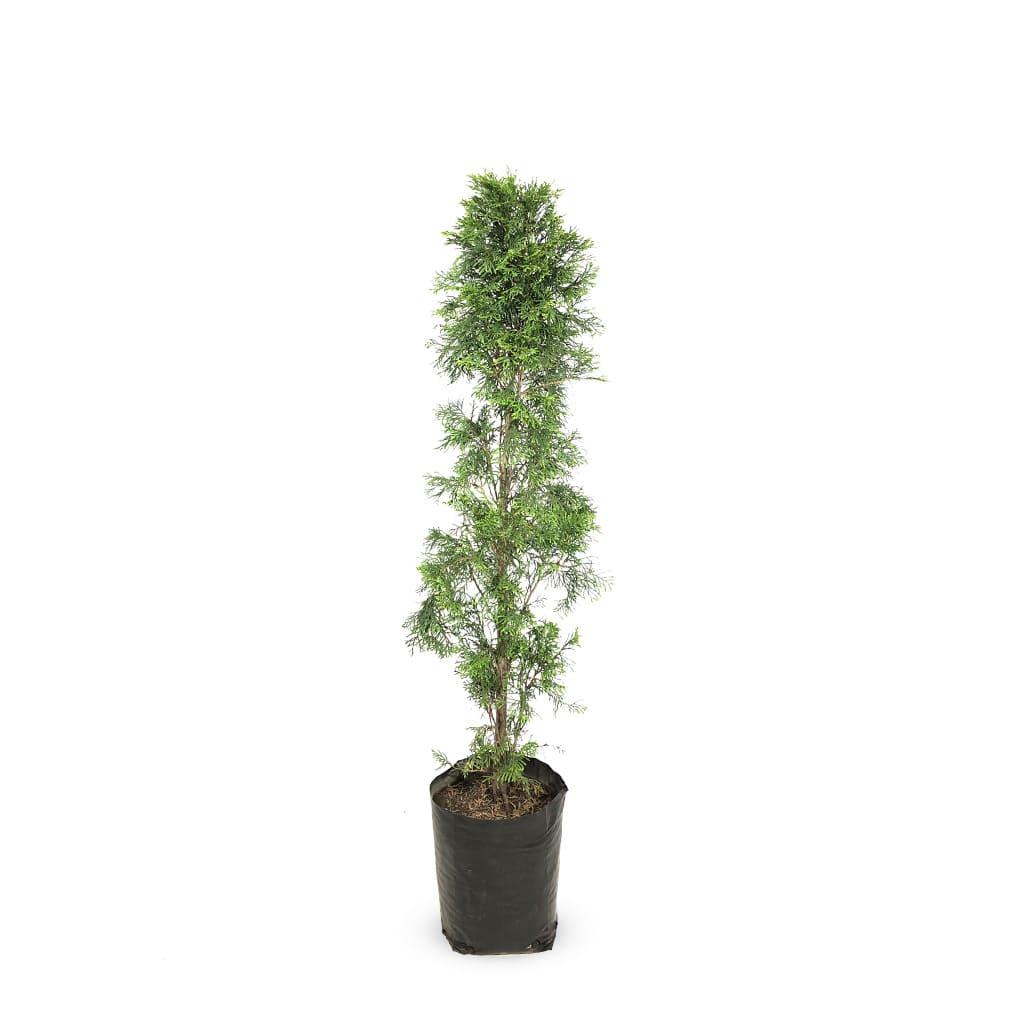 Plantas Faitful Plantas exterior Thuja smaragd E15 - Plantas Faitful