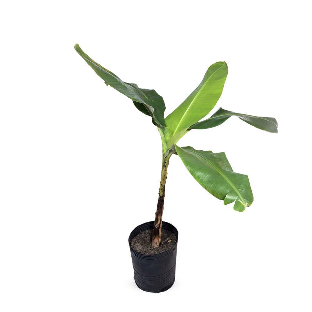 Plantas Faitful Plantas Exterior Bananero E10 1 - Plantas Faitful