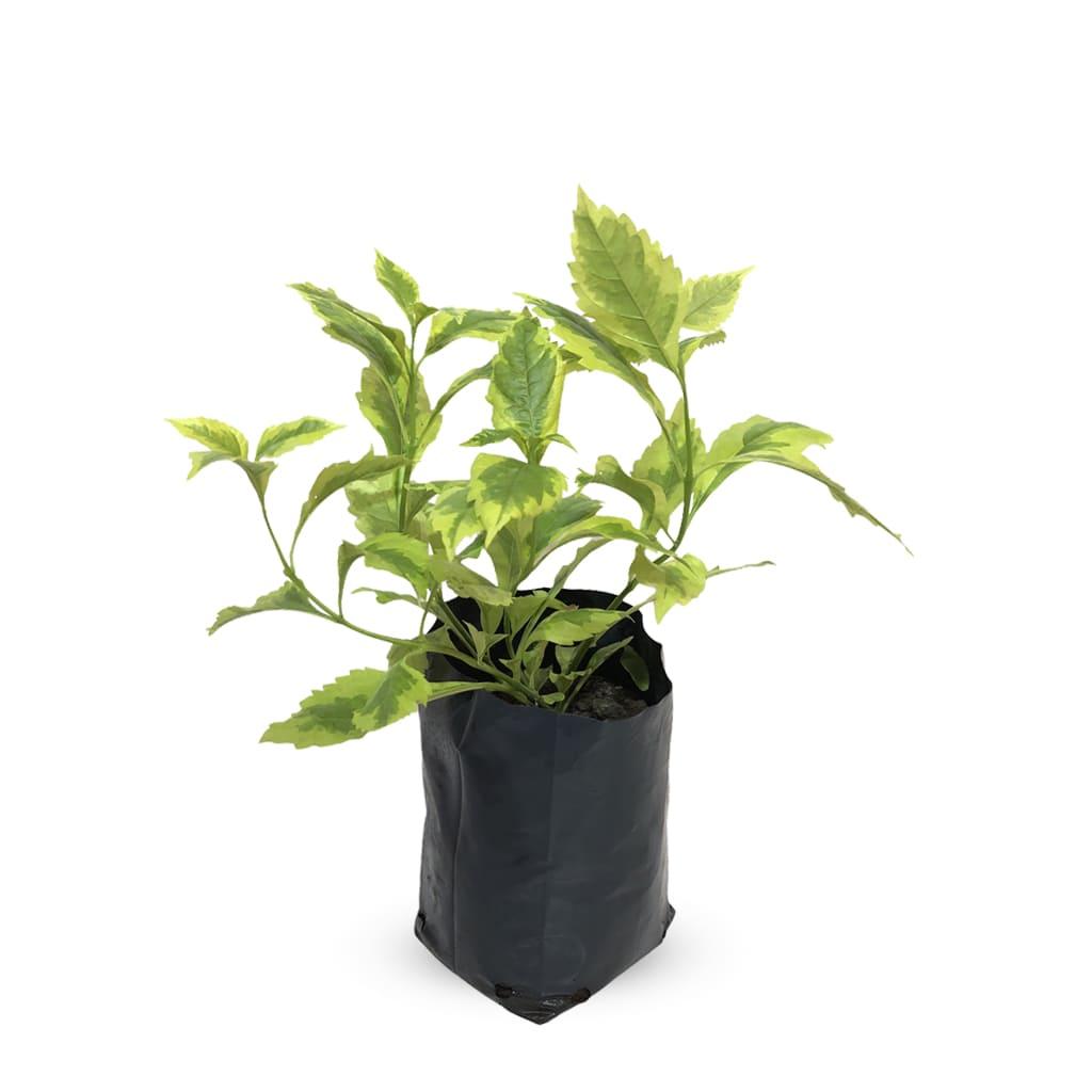 Plantas Faitful Plantas Exterior Duranta Variegada - Plantas Faitful