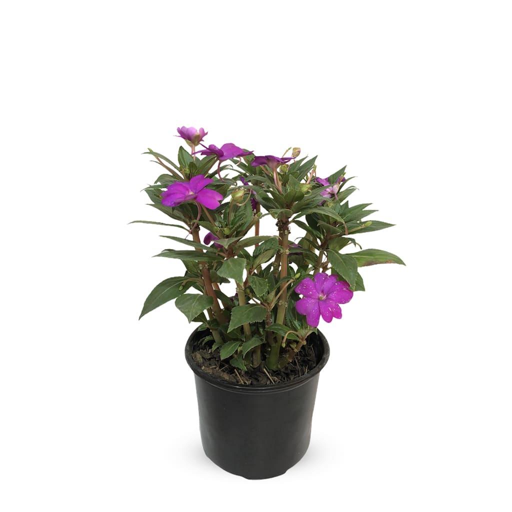 Plantas Faitful Plantas Exterior Impatiens - Plantas Faitful