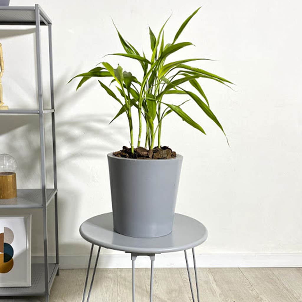 Plantas Faitful Plantas Interior Dracaena Sanderiana M14 - Plantas Faitful