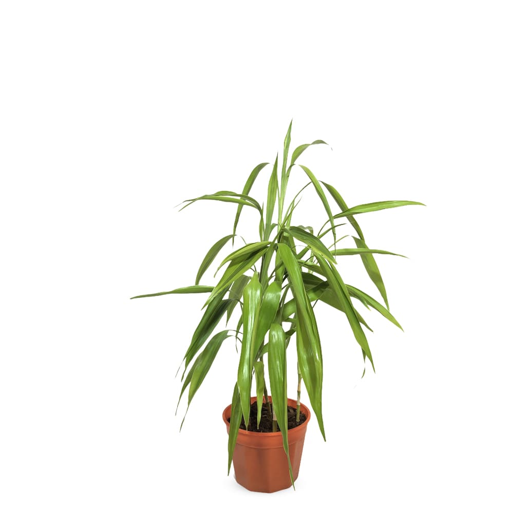 Plantas Faitful Plantas Interior Dracaena Sanderiana - Plantas Faitful