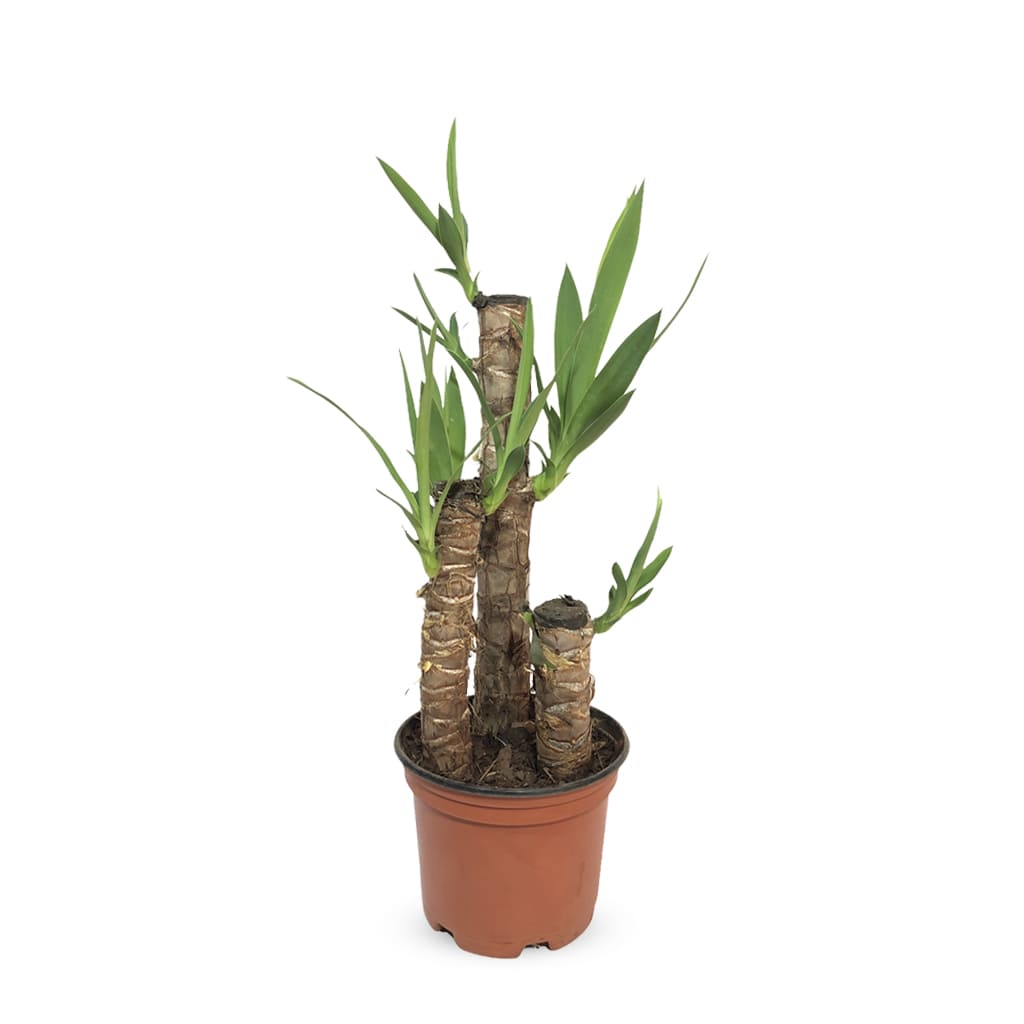 Plantas Faitful Plantas Interior Yucca M14 - Plantas Faitful