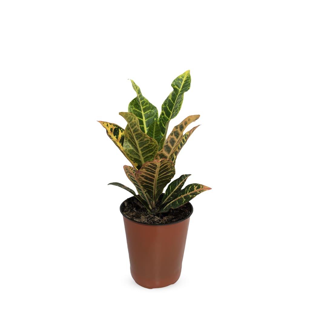 croton 2 - Plantas Faitful