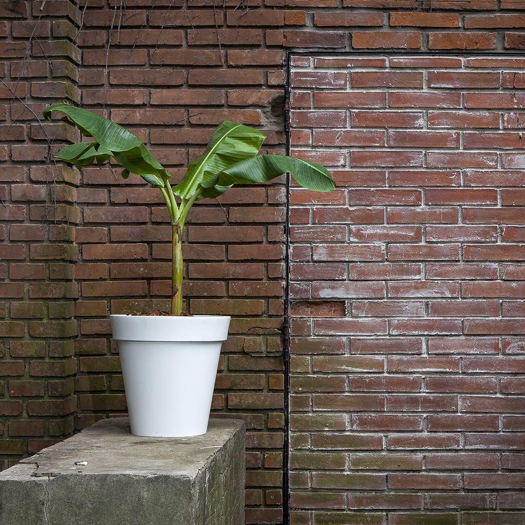 Plantas Faitful Combos Exterior Bananero Espanola Rotomoldeado - Plantas Faitful