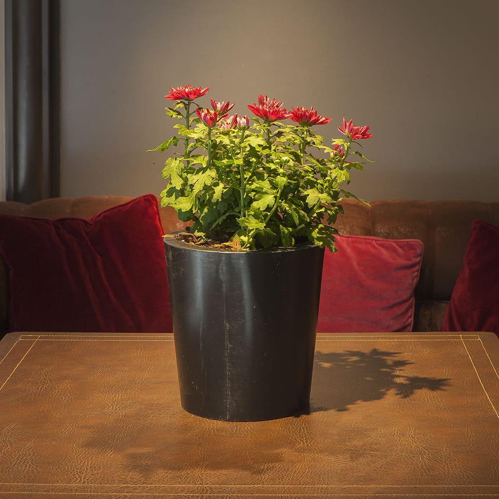 Plantas Faitful Combos Exterior Crisantemo Cono Rotomoldeado - Plantas Faitful