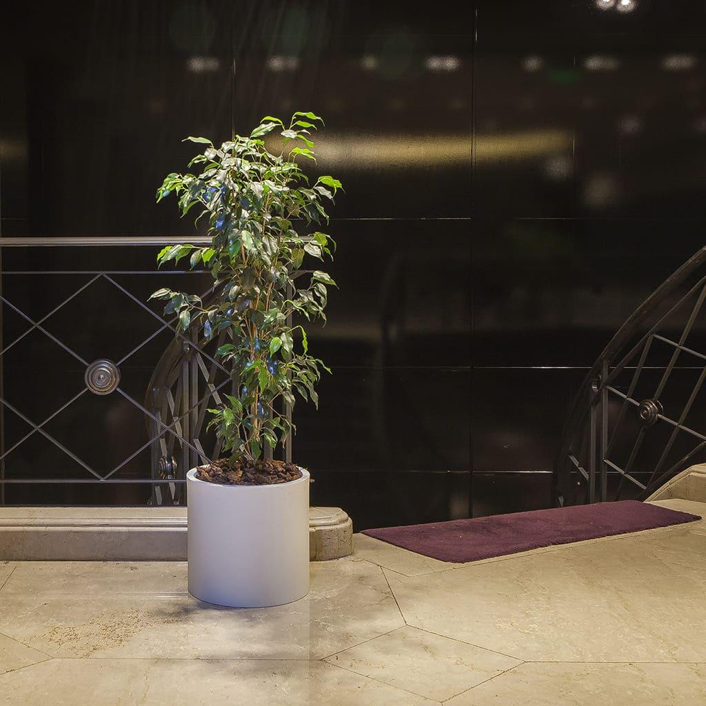 Plantas Faitful Combos Interior Ficus Benjamina Cilindro Rotomoldeado - Plantas Faitful