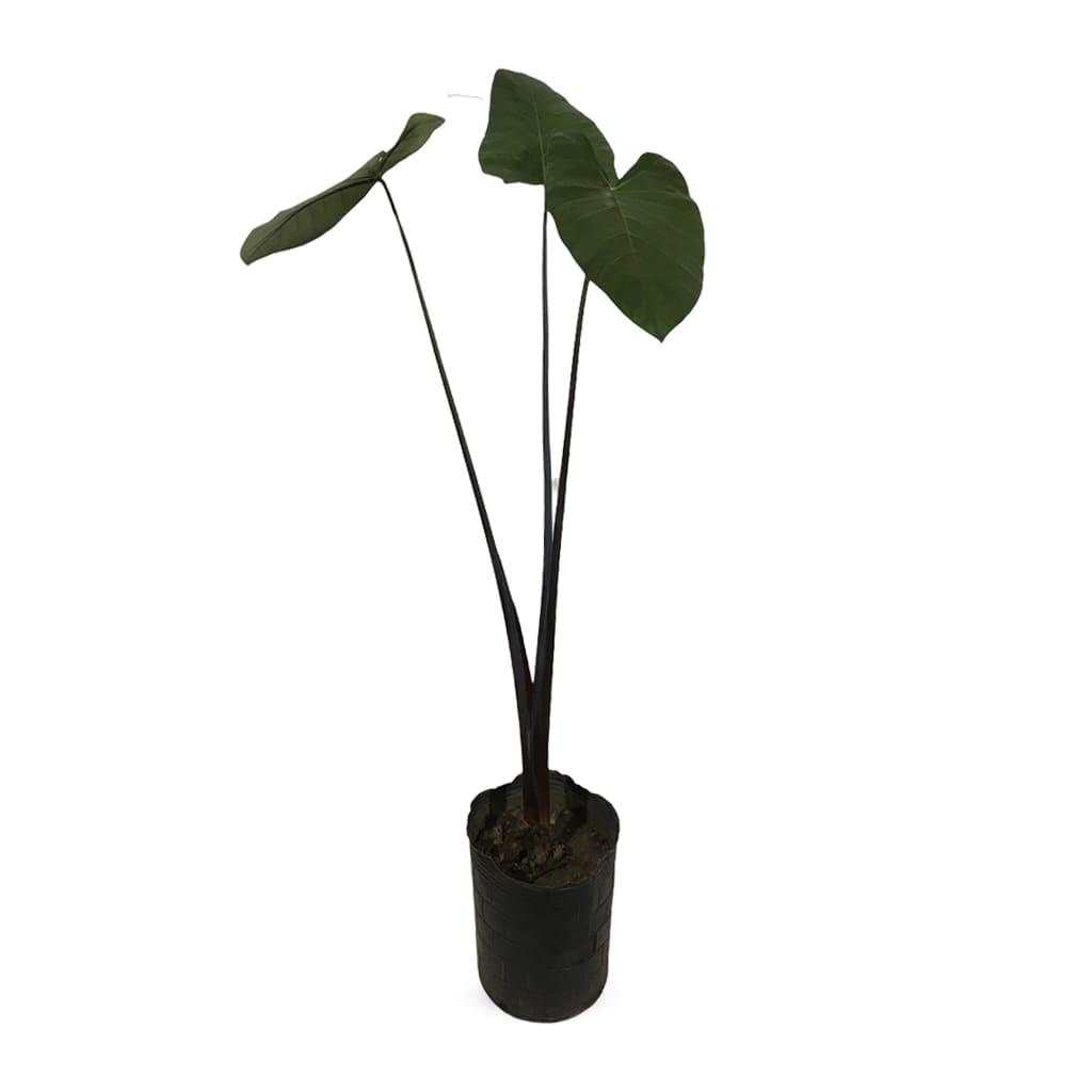 Plantas Faitful Plantas Alocasia Black - Plantas Faitful