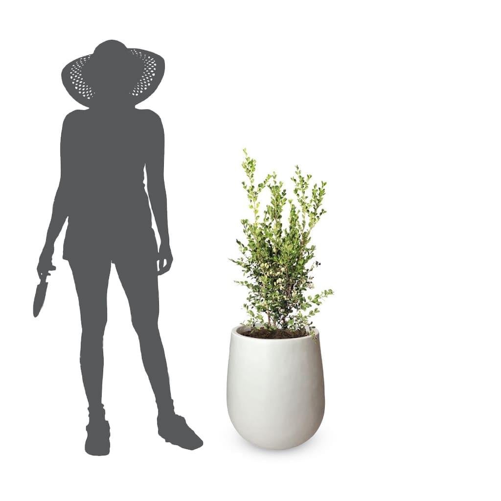 Plantas Faitful Plantas Exterior Buxus E10 Jarron - Plantas Faitful