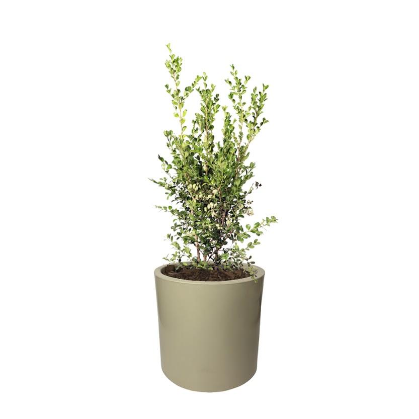 Plantas Faitful Plantas Exterior Buxus E10 Maceta Rotomoldeado Cilindro 30 Beige - Plantas Faitful